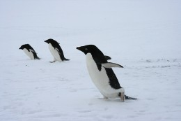 Penguins at Antarctica!