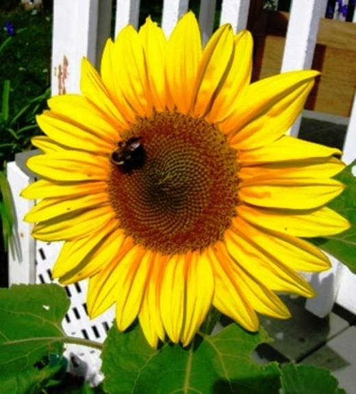 A garden without at least one sunflower is just not right. Bob Ewing photo