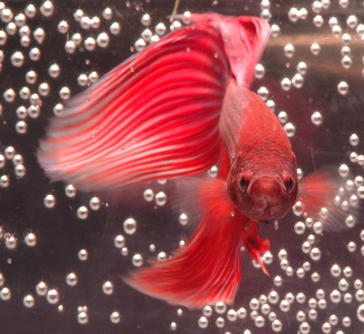 Is a betta siamese fighting fish a good pet for Good pet fish