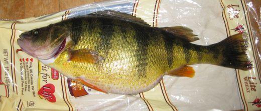 Big Jumbo Trophy Yellow Perch