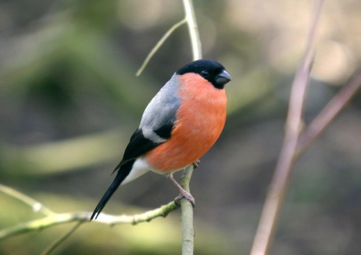 The male bullfinch is a handsome bird. But he is reclusive and rarely seen in the open. Picture courtesy of Mjobling.