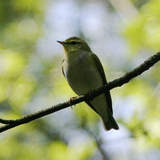The wood warbler used to be numerous but is now in decline. Photograph courtesy of Oskila