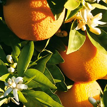 Orange tree close pic
