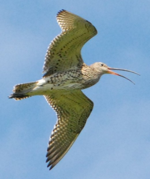 The bubbling call of the curlew is emitted on the wing. It is a call of the wild. Note how the photographer has captured the point beneath the birds tail which is formed by the bird holding out its legs horizontally.  The photograph is by kind permis