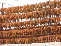 Grapes drying in the sun for raisins (public domain).