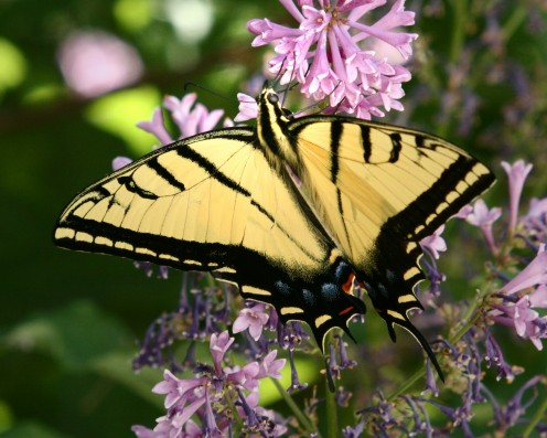 Beautiful swallowtail butterfly tastes nectar from a lilac blossom