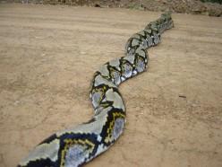Python The Large Snake