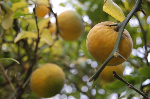 A rare pic of bitter oranges on tree