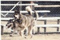 Funny Story About Rollerblading With Malamute Dogs