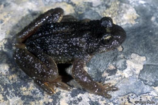 Ascaphus montanus