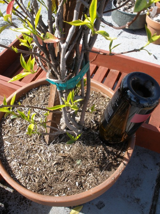 This recycled watering globe made from a wine bottle is saving my jasmine from last year's drought.