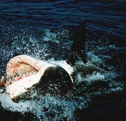 Killer Whale vs Great White SharkOrca Bite