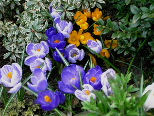 CROCUS ARISE FROM CORMS