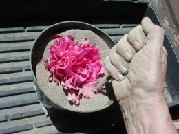 "Hilda's peonies are so beautiful that I dried some in treated sand to keep their beauty ""immortal."""