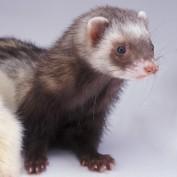 FerretParentHub profile image