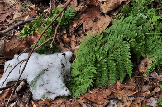 A fern, still green, emerges from receding snow.