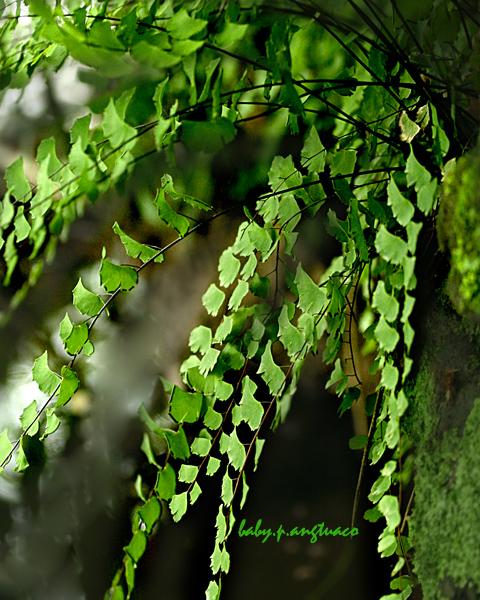 maidenhair fern growing on a rock crevice