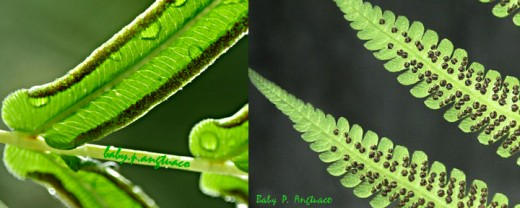 Fern fronds showing spores