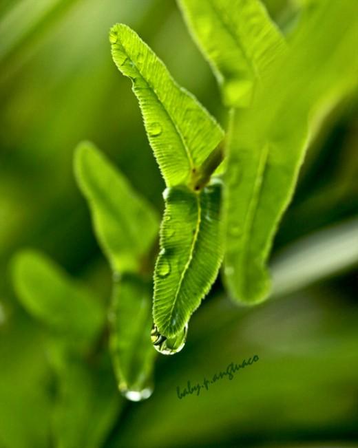 simple symmetry in fern leaflets