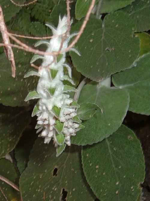 Sideritis macrostachya