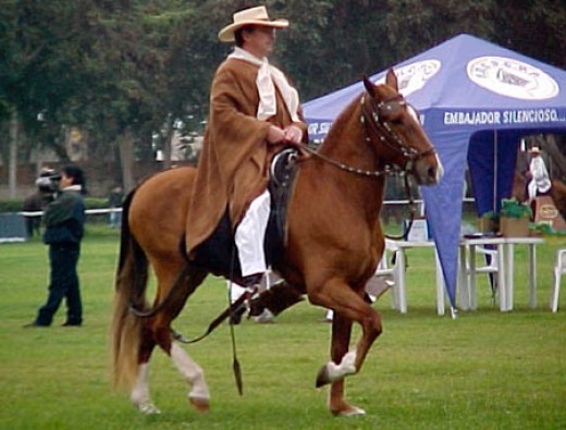 Peruvian Paso horse being ridden by a chalán with jipi japa hat and linen poncho.