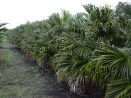 The beautiful evergreen Chinese Fan palms(Livistona Chinenssis)
