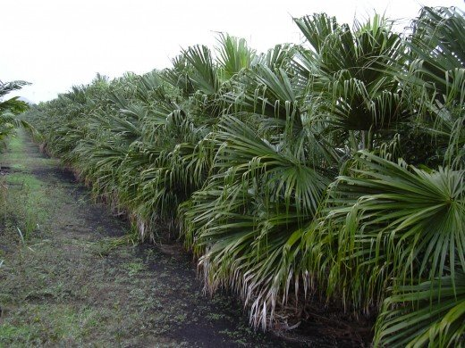 The beautiful evergreen Chinese Fan palms(Livistona Chinenssis)