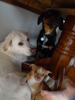 Lio gets along very well with our large dogs Cody (white) and Jackson (black).