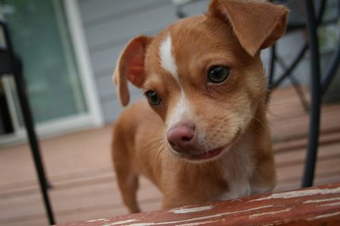 Lio's cuteness is enhanced by the chihuahua tongue phenomenon.