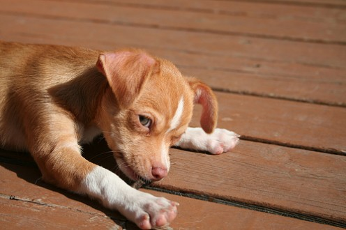 Chihuahuas make great pets for the right family.