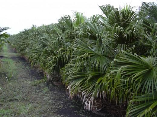 Chinese Fan Palms