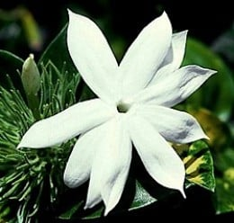 Single Jasmine Flower - Beautiful, rare, and unique
