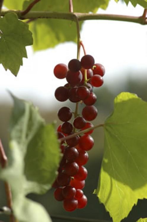 courtesy of 2.bp.blogspot.com/.../s400/grapevineLG.jpg