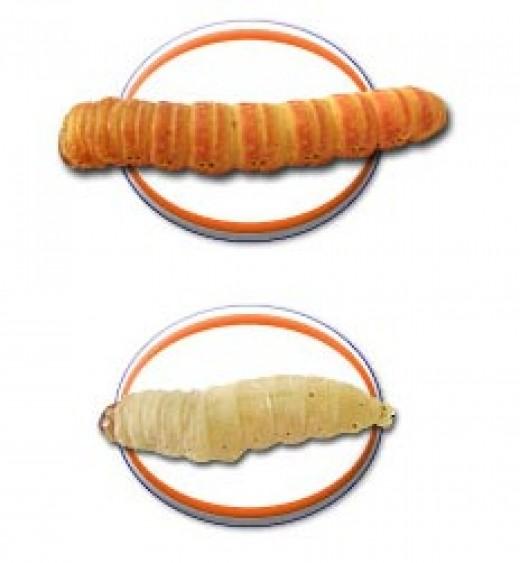 Butterworm/Waxworm