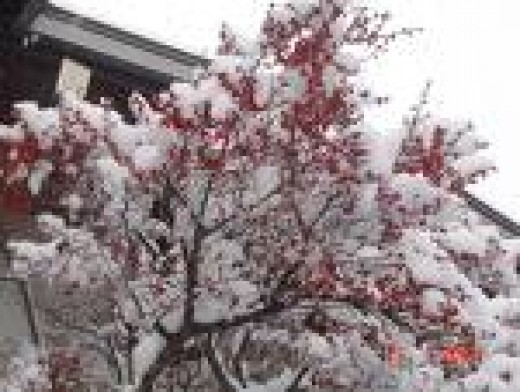 Beautiful snow-covered Cherry tree in blossom.