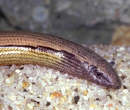 Silvery legless lizard. Photo by R. G. Sprackland.