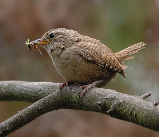 The wren's tiny size belies the merry jet of strong notes he calls from the undergrowth. Photograph courtesy of Alex Spade. {Zaunkoenig}
