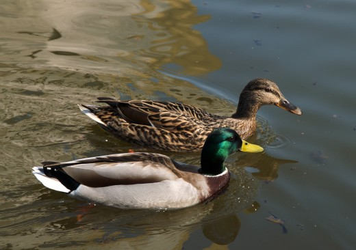 the mallard our most common wild duck is at its most furtive during April. Photograph courtesy of Jorg Hempel.