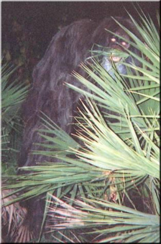 The first of the two Myakka skunk ape photographs taken in 2000