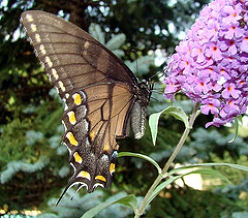 Buddlia Beloved by Butterflies