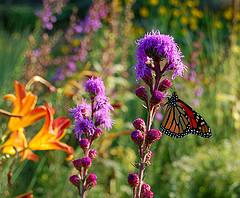 Soft purple flowers, a Butterfly's Delight