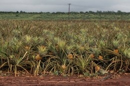 "Pineapple ""trees"""