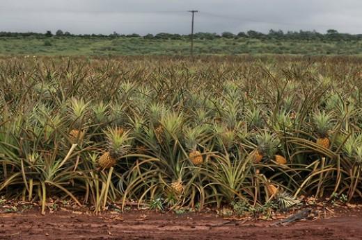 "Pineapple ""trees"""