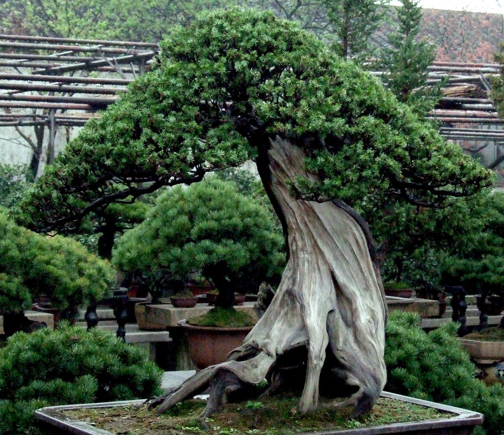The different types of bonsai trees hubpages for 1800 flowers bonsai