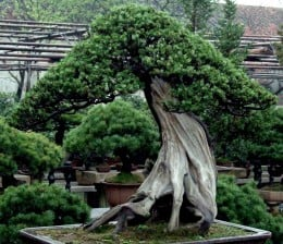 Bonsai by markb120