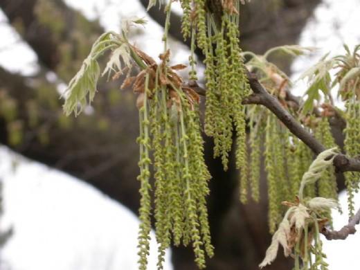 red oak pollen
