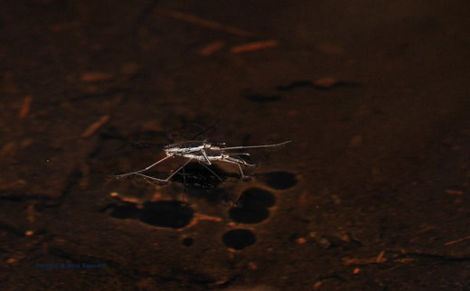 A pair of water striders do the nasty. Researchers say once they connect -- and they have -- they can do it for hours.