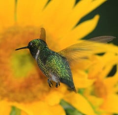Drinking nectar from a Sunflower