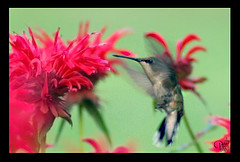Hummingbirds show a preference for Red Flowers. (Plastic or otherwise!)