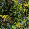 The Body Ecology Diet Sea Vegetables- Dulse, Wakame, Kombu, and Other Nutrition Rich Gifts from the Sea